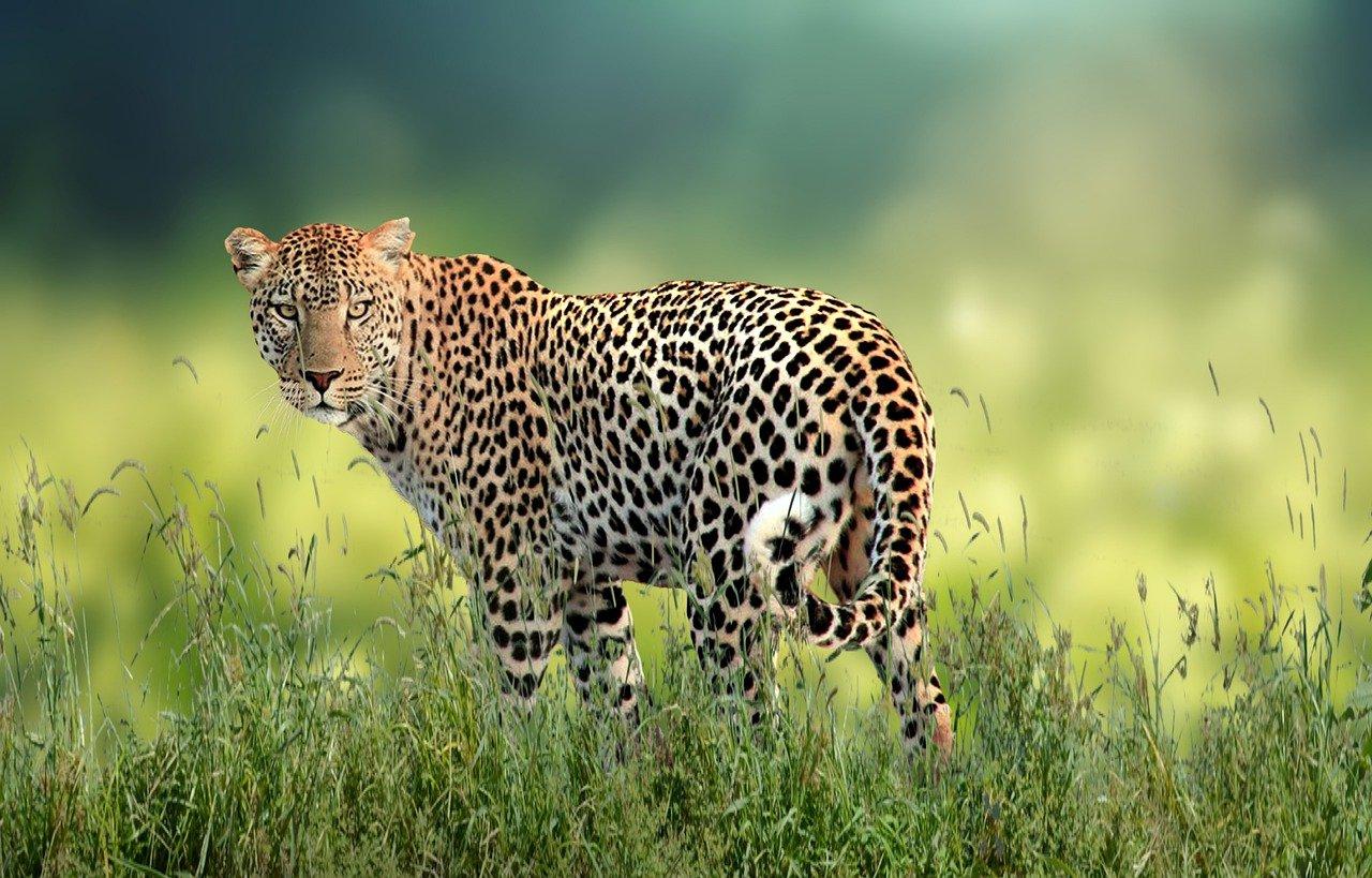 A leopard in the jungle